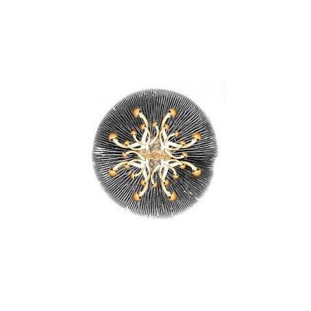 10 gr Peganum harmala (Arruda Síria) - 10g de sementes