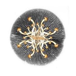 100 grs jurema - mimosa hostilis - casca do tronco